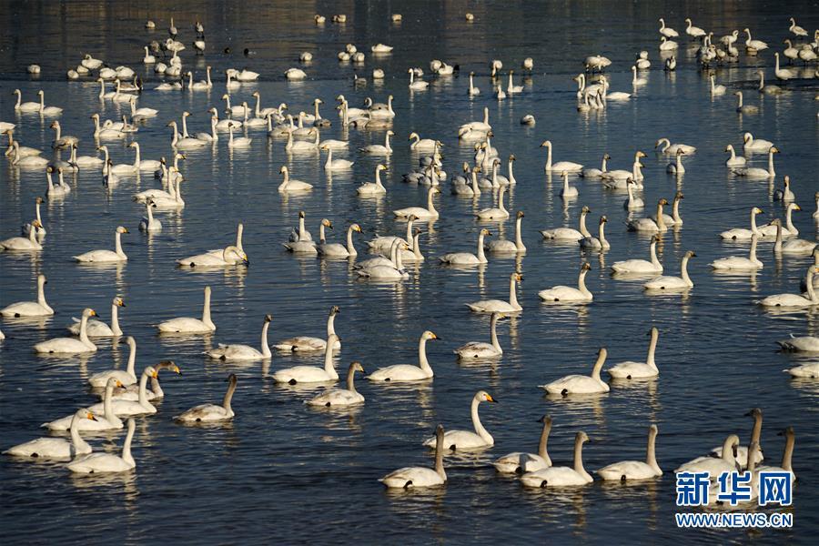 """(环境)(3)大美黄河""""天鹅湖"""""""
