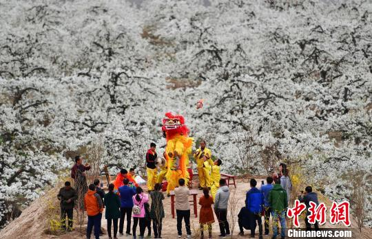 """似雪如玉""""中国雪花梨之乡""""河北赵县进入梨花最佳观赏期"""