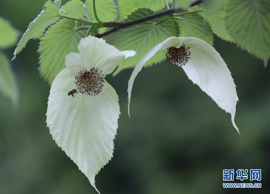 #(环境)(2)珙桐花开