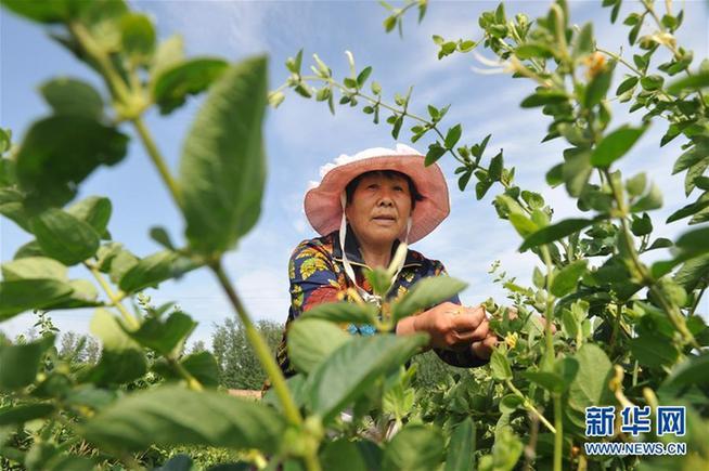 (经济)(3)河北吴桥:特色农业助力精准扶贫