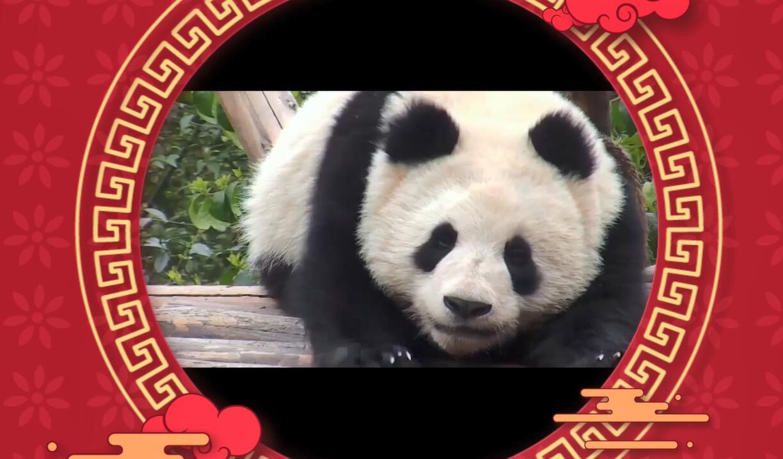 大熊猫文化全球大使给您拜年啦!