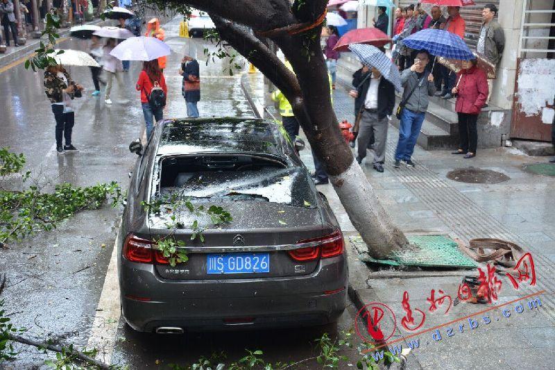 达城行道树近期多次被风吹倒 市民质疑树栽浅了